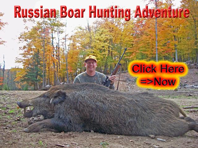 Wild Russian Boar in the Autumn Rut